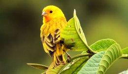 Канарки - співочі пташки, і вони теж можуть хворіти
