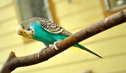 Як навчити розмовляти свого папугу