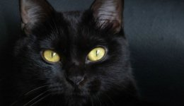Порода Бомбейська кішка