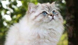 Британська довгошерста кішка