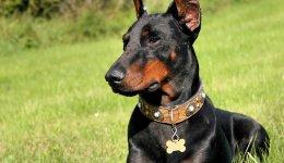 Лучшие породы сторожевых собак