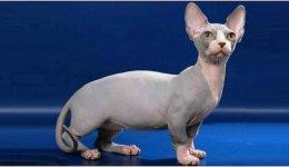 Бамбіно порода кішок