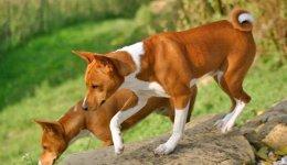породу собак Басенджі