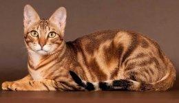 Інформація про породу котів Сококе