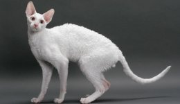 Корниш-рекс гипоаллергенная порода кошек