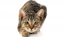 Порода кошек Европейская короткошерстная (кельтская)