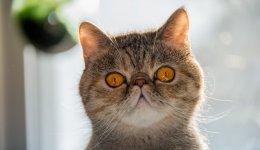 Экзотическая короткошерстная порода кошек