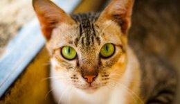 Інформація та риси характеру Абісинських котів