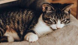 Астма у кішок