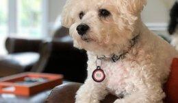 Бишон фризе: информация о породе собак