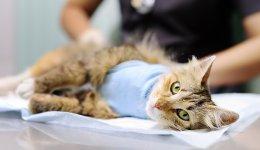 Все про стерилізацію кішок
