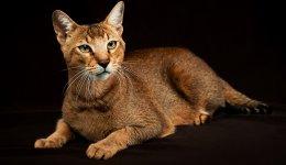 Коти Чаузі: опис, характеристика, особливості догляду та харчування