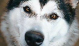 Усе про породу собак Аляскінський маламут