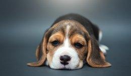 Ентерит у собак