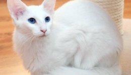 Кошка Форин Вайт