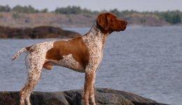 Порода собак Французький Брак