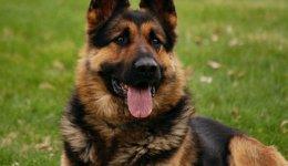 Порода собак Німецька вівчарка