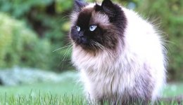 Гімалайська кішка