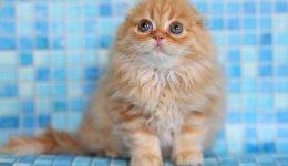 Кошка Хайленд-фолд. Шотландская вислоухая длинношерстная кошка