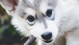 Особенности питания щенка сибирского хаски