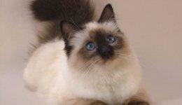 Порода Балінезійська кішка (Балінез)
