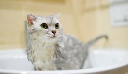 Як купати кішку (і не травмуватись при цьому)