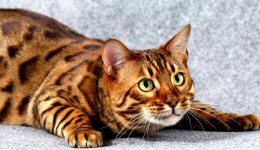 Коты Тойгер: характеристики, советы по уходу и полезная информация для владельцев домашних животных