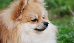 Порода собак Німецький шпіц
