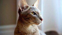 Порода Ориентальная кошка