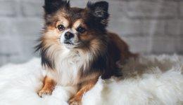 Папильон: Профиль породы собак