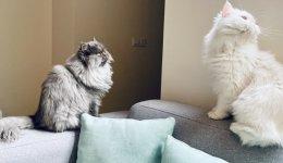 Персидська кішка, характеристика породи