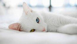Аристократичні коти Као Мані