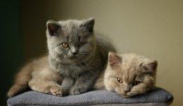 Рацион питания для котят Шотландской и Британской породы