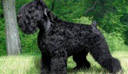 Порода собак Російський чорний тер'єр