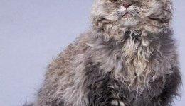 Кошка Селкирк-рекс