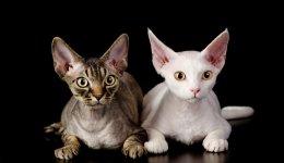 Порода котів Девон-рекс