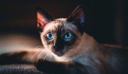 Сиамская кошка - Королева кошачьего мира