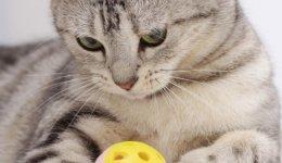 Скоттиш-страйт. Шотландская прямоухая кошка