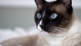 Кошка Сноу-шу