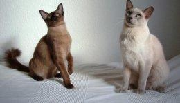 Порода Тонкинез. Тонкинская кошка
