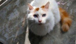 Кошка Турецкий ван