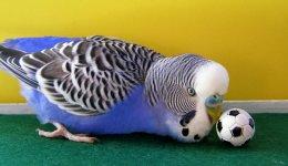 Рекомендации по уходу за волнистым попугаем: все подробные вещи, которые вы должны знать о волнистых попугаях