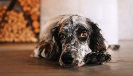 Закріп у собаки