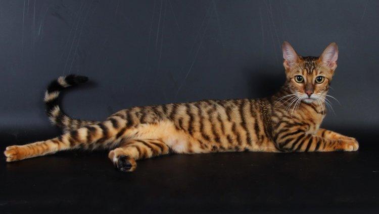 Коти Тойгер: характеристики, поради щодо догляду та корисна інформація для власників домашніх тварин