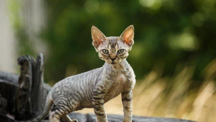 Порода котов Девон-рекс