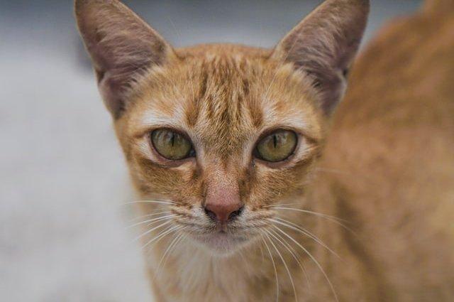Информация и черты характера Абиссинских кошек