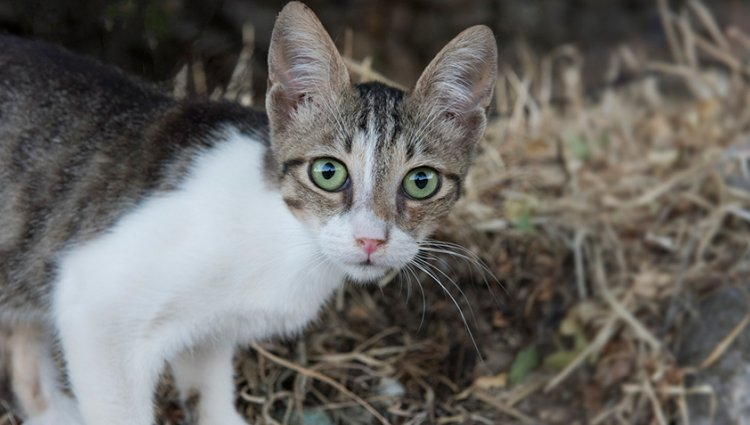 Порода - Эгейская кошка