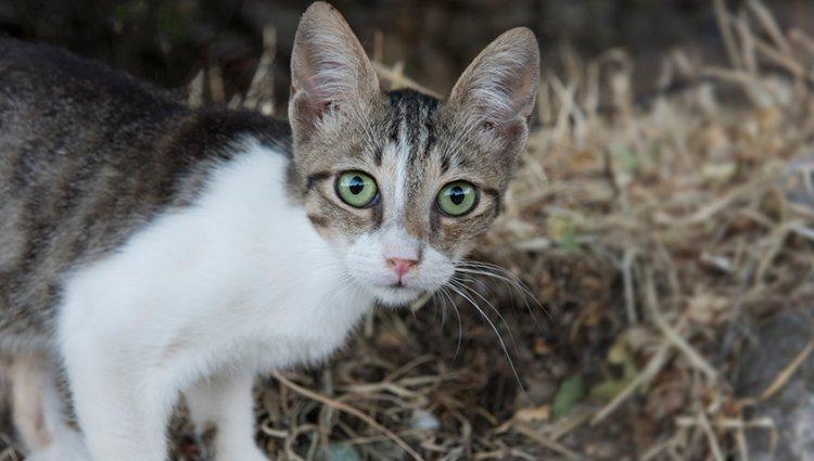 Порода - Егейська кішка