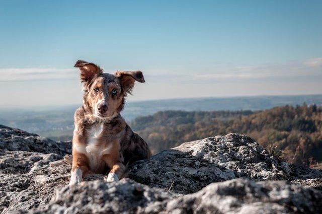 Порода собак - Австралійська вівчарка