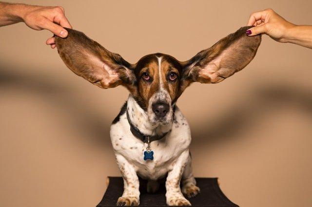 Порода собак Бассет-Хаунд
